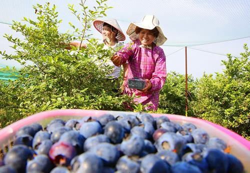 蓝莓成熟果农乐